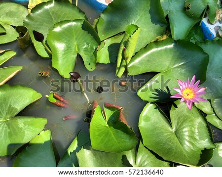 Pink Water lily flower in pool