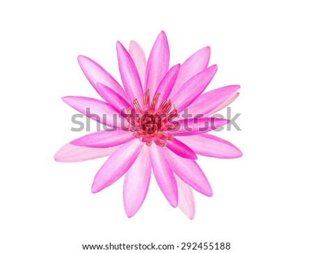 pink water lily flower (lotus) on white background with clipping path