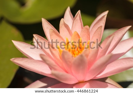 Pink Water lily flower on top of a koi pond in Southern California - stock photo