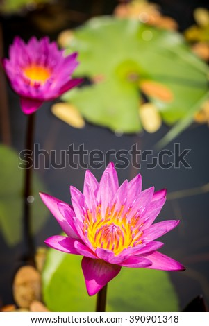 Pink water lily flower on top view. Water lily or lotus in Thailand - stock photo