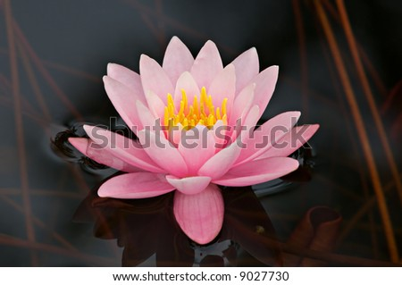 Pink water lily framed by dark water