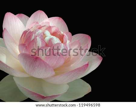 Pink Water Lily Isolated on Black Background - stock photo