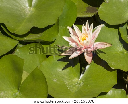 Pink water lily, Nymphaea, in a koi pond in Southern California in spring