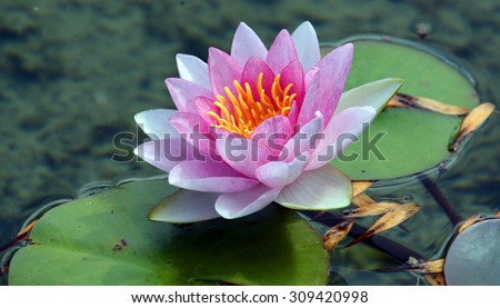 Pink water lily. Nymphaeaceae is a family of flowering plants. Members of this family are commonly called water lilies and live as rhizomatous aquatic herbs in temperate and tropical climates  - stock photo