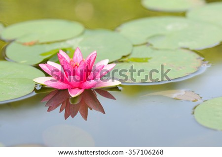 Pink Water Lily on a Pond - stock photo