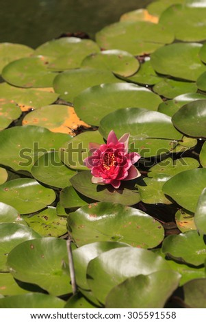 Pink water lily on top of a koi pond in Southern California