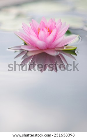 Pink Water Lily (with reflection)