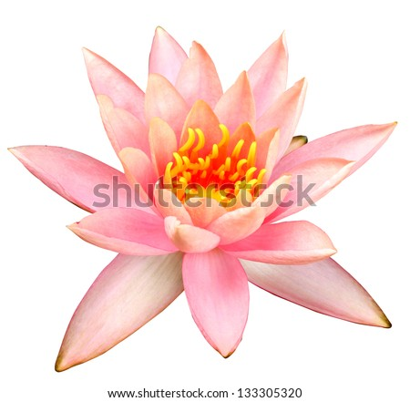 Pink water lilyon white background