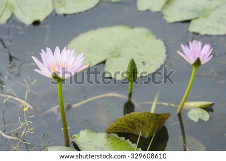 Pink waterlily lotus on the pond.