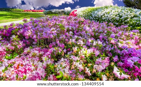 Pink, white, and red azaleas in Highland Park, TX - stock photo