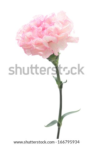 Pink white carnation isolated on white background