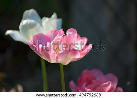 Pink white filled tulips