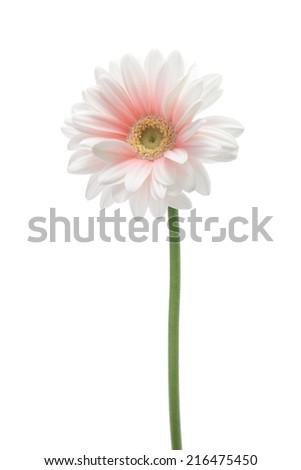 Pink white gerbera daisy isolated on white background  - stock photo