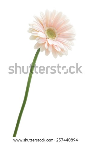 Pink white gerbera daisy isolated on white background  - stock photo
