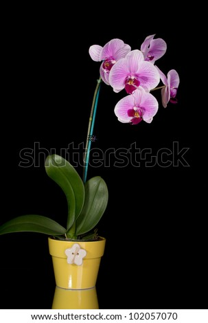 Pink & white orchids in yellow pot isolated on black background - stock photo