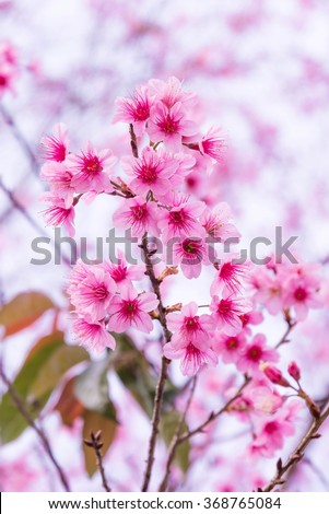 Pink Wild Himalayan Cherry (Prunus cerasoides) Sour Cherry Flower (Thai Sakura Cherry Blossom) Full Bloom Close-up Macro under Clear Blue Sky in Spring daytime at Chiangmai Province - stock photo