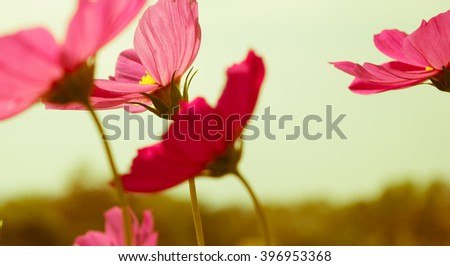 pink wildflowers meadow with vintage style,wildflowers meadow,wild flower. - stock photo