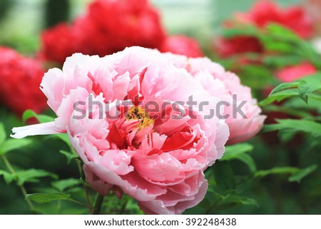 Pink with red Peony flowers,beautiful pink with red flowers in full bloom in the garden in spring,closeup - stock photo