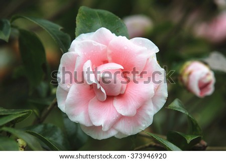 Pink with white Camellia flower closeup,beautiful pink with white flower and bud blooming in the garden in spring   - stock photo