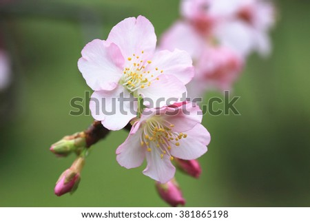 Pink with white cherry blossoms closeup,beautiful pink flowers and buds blooming in the countryside in spring  - stock photo
