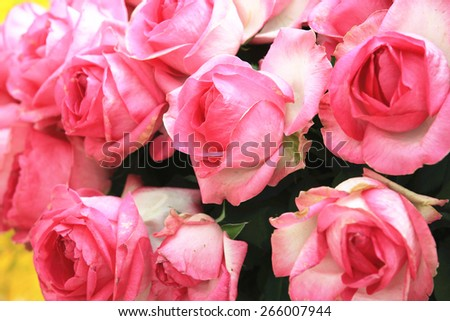 Pink with white roses,beautiful roses in full bloom in the garden in spring,closeup  - stock photo