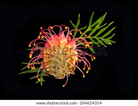 Pink yellow Grevillea flower with soft focus leaves isolated on black - stock photo