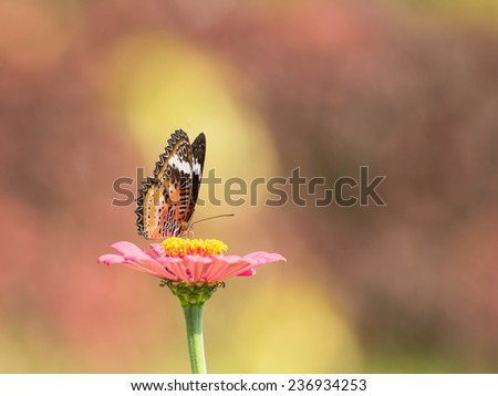 pink zinnia with butterfly