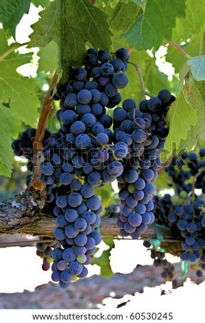 Pinot Noir Grapes - stock photo