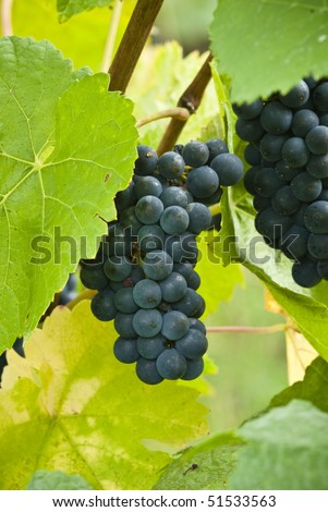 Pinot noir grapes close-up
