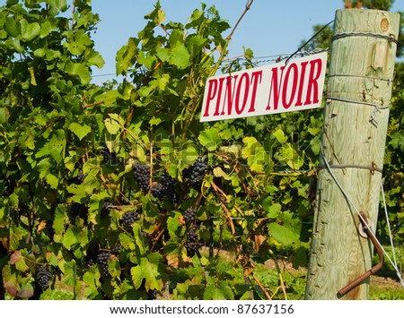 Pinot Noir sign on grape vine in Niagara on the Lake wine country in Ontario, Canada