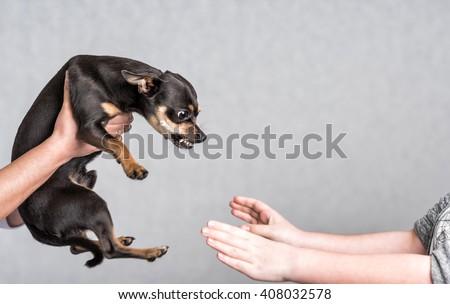 Pinscher dog aggressive reaction - stock photo