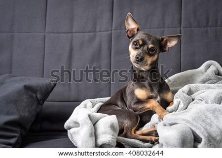 Pinscher dog on the sofa - stock photo