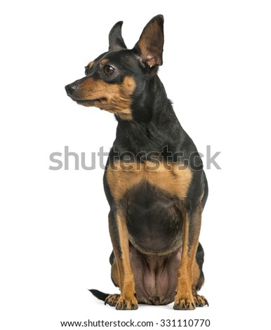 Pinscher sitting in front of a white background