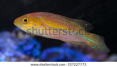 Pintail Wrasse - Scientifically un-described and referred to as cirrhilabrus cf. lanceolatus.