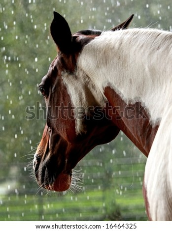 Pinto mare looking out at the rain - stock photo