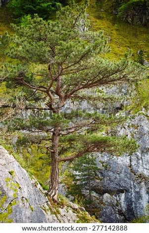 Pinus nigra banatica on mountains peak in Romania - stock photo