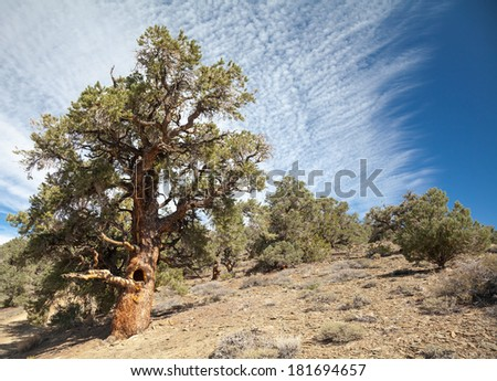 Pinyon and Juniper Forest in the White Mountains of California