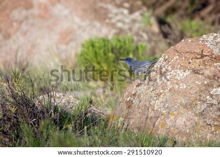 Pinyon Jay in the Rocky Mountains of Colorado - stock photo