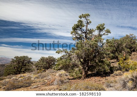 Pinyon Pine and Juniper Forest in Mountains