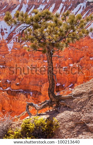 Pinyon Pine Tree Bryce Canyon National Park Utah