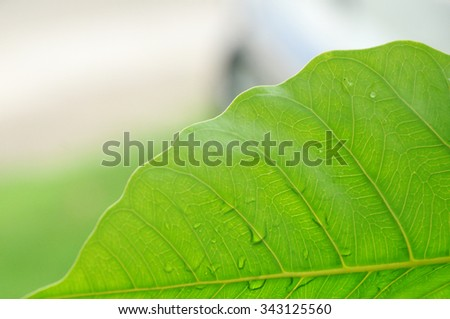 Pipal leaf,close up