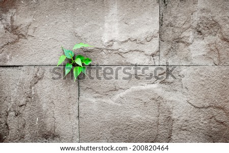 pipal leaf growing through crack in old sand stone wall, survival concept - stock photo