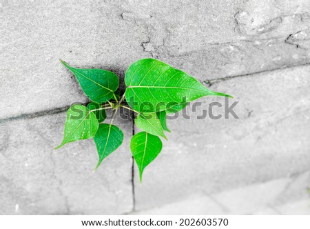 pipal leaf growing through crack in old sand stone wall,survival concept. - stock photo