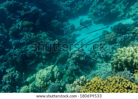 Pipefish on background coral reef