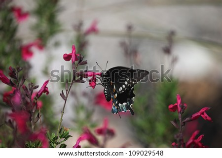 Pipevine Swallowtail butterfly on red flowers in Arizona, USA, in summer/Wild Pipevine Swallowtail Butterfly feeds on Red Blooms in desert Southwest USA/Swallowtail butterfly feeds on flowering shrub - stock photo