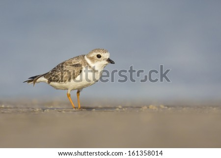 Piping Plover along the beach - Fort Desoto, Florida - stock photo