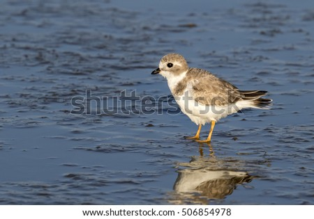 Piping plover (Charadrius melodus) in winter plumage at the ocean coast, Galveston, Texas, USA.