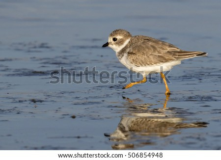 Piping plover (Charadrius melodus) in winter plumage running along the ocean coast, Galveston, Texas, USA.