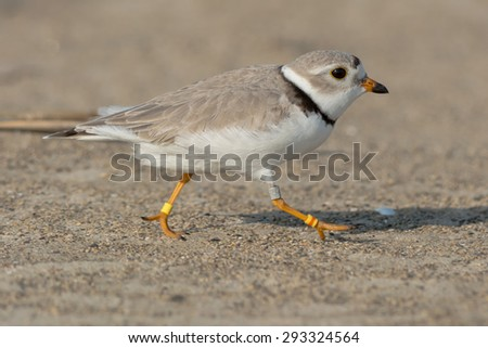 Piping Plover jogging on the beach. - stock photo