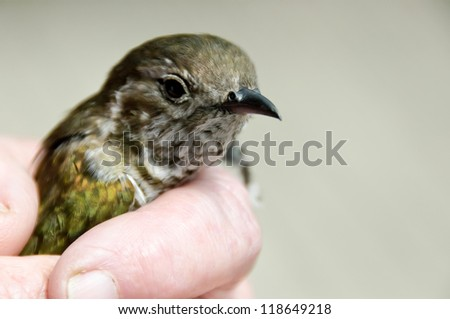 Pipiwharauroa shining cuckoo being held in hand - stock photo